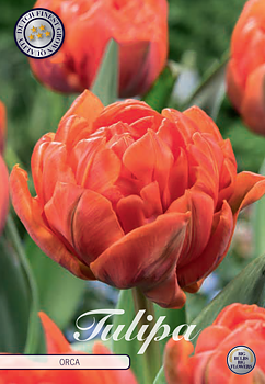 """Double Early Tulips """"Orca"""" (new)"""