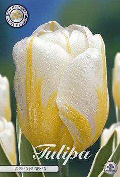 "Dawin Hybride Tulips   ""Alfred Heineken """