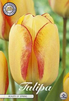 "Dawin Hybride Tulips   ""Beauty of Spring"""
