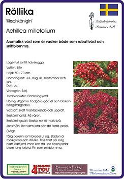 Achillea millefolium 'Kirschkönigin'