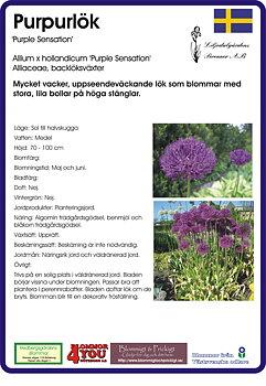 Allium aflatunense 'Purple Sensation'