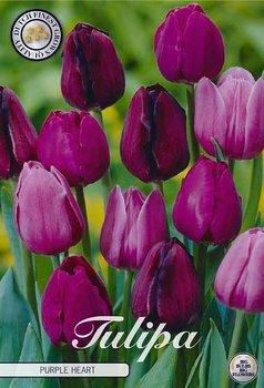 "Garden Tulips   ""Purple Heart"""