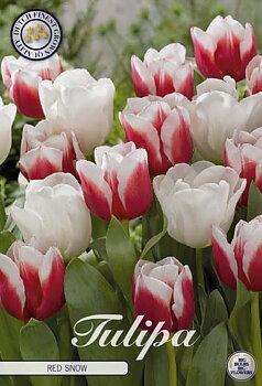"Garden Tulips   ""Red Snow"""