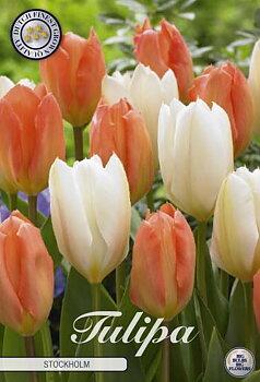 "Garden Tulips   ""Stockholm"""