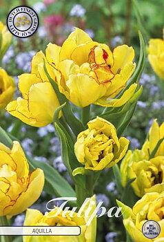 """Multiflora Tulips   """"Aquilla"""""""