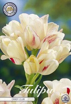 "Multiflora Tulips   ""Candy Club"""