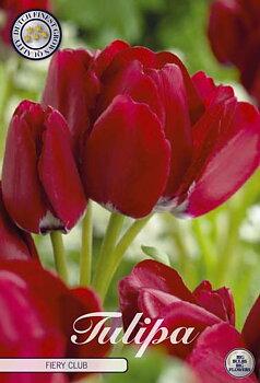 "Multiflora Tulips   ""Fiery Club"" (new)"