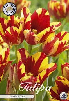 "Multiflora Tulips   ""Wonder Club"" (new)"