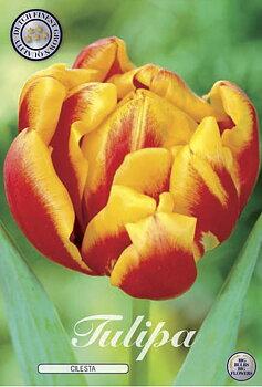 "Double Early Tulips  ""Cilesta"""