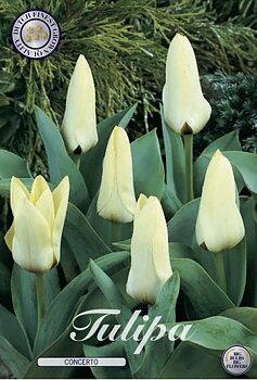 "Kaufmanniana Tulips  ""Concerto"""