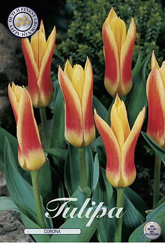 "Kaufmanniana Tulips  ""Corona"""