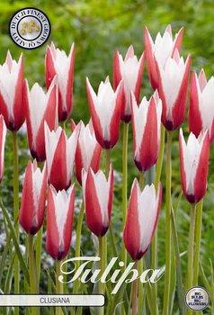 """Botanical Tulips   """"Clusiana"""""""