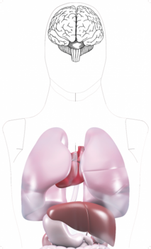 Internal Organs Target Not Visible 10pcs