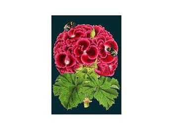 Madame Treacle : Geranium - Kort med kuvert