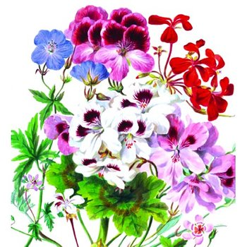 Natural History Museum : Geranium sp. Pelargoner